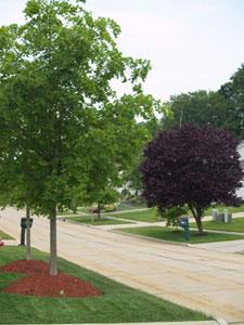 Tree lawn trees
